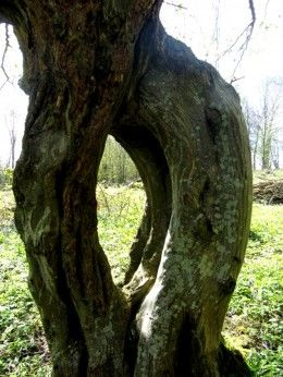 cleft tree, jumping downs