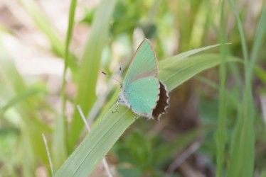 Green hairstreak, Denge