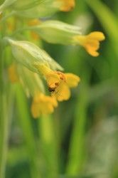 Cowslip with ant