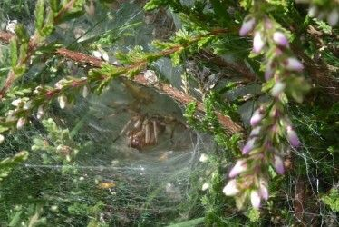 Bell Heather Spider