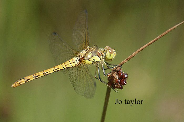 Female Darter