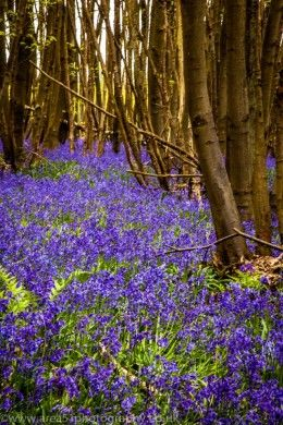 bluebells & sweetchestnut trees