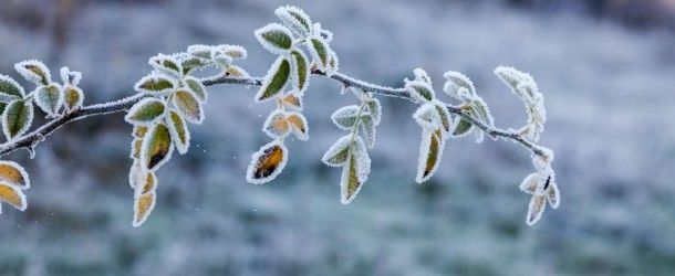 Frosted leaves, Fowlmead