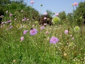 Scabious, Cherry Orchard