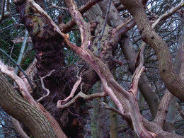 old oak tree branches