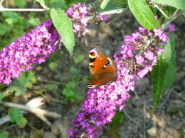 peacock butterfy on buddleia