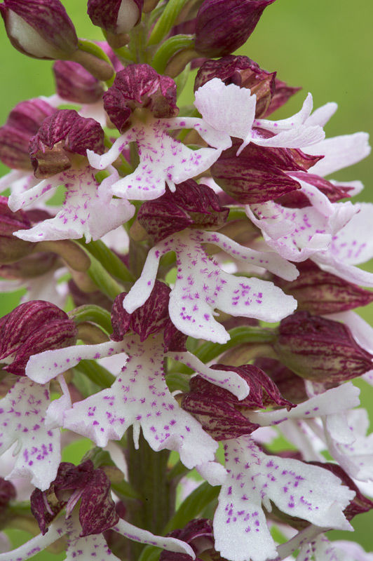 Lady orchid close-up
